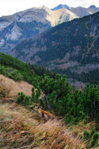 Fox_in_Tatra_Mountains_web